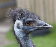 Emu Blue Head Close Up Stock Photography