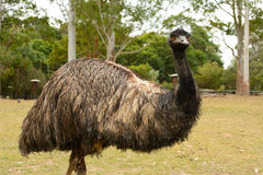 Emu in angry bird form Stock Photography