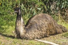 Emu chłodzi out w słońcu Fotografia Royalty Free