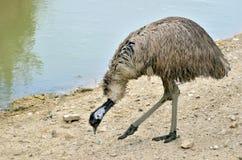 Emu che cammina vicino allo stagno Immagine Stock