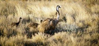 Emu Chicks Stock Photos