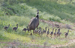 Emu with chicks Royalty Free Stock Image