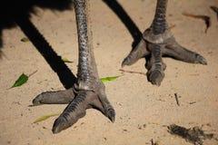 Emu cieki Zdjęcie Royalty Free