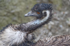 Emu Close-up. A close-up of a head and shoulders of an Emu Royalty Free Stock Images