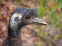 Emu. Close up Royalty Free Stock Photography