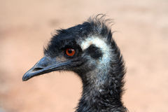 Emu. A close-up of an Emu (big Australian bird Stock Photography