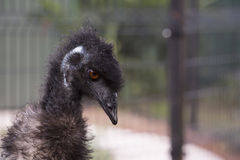 Emu. Close up of emu Dromaius novaehollandiae head and neck Royalty Free Stock Photography
