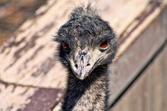 Emu Close up. A head shot of an Emu Royalty Free Stock Images