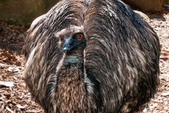 Emu close up portrait Royalty Free Stock Image