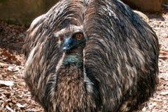 Emu close up portrait Royalty Free Stock Image