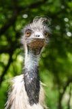 Emu Close Up Portrait Bird Vertical. Emu Close Up Head Neck Face Portrait Bird Vertical Stock Images