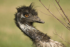 Emu Closeup Royalty Free Stock Photography