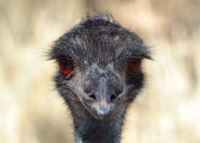 Emu Closeup Face. Emu is the Largest bird native to Australia and most common over most of mainland Australia Royalty Free Stock Photo
