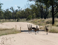 Emu Crossing Stock Photos
