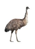 Emu cutout. Emu (Dromaius novaehollandiae) isolated on white with clipping path Stock Images