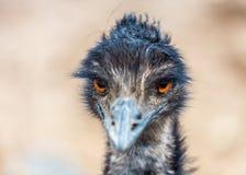 Emu, das gerade Nahaufnahme schaut Lizenzfreie Stockfotografie