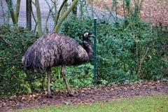 Emu, das vor einem Zaun steht stockfotos