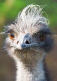 Emu del pájaro Fotos de archivo libres de regalías