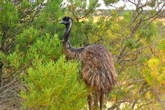 Emu in the dessert Royalty Free Stock Photography