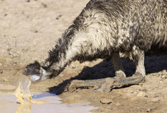 Emu drinking Royalty Free Stock Images