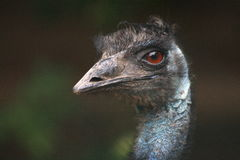 Emu Dromaius novaehollandiae. A bird Emu from The Australia Royalty Free Stock Image