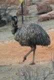 Emu - Dromaius novaehollandiae Zdjęcia Royalty Free