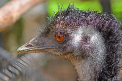 Australian emu close-up. Emu Dromaius novaehollandiae - a bird of the order of cassowaries, the largest Australian bird. The second largest bird after an ostrich Royalty Free Stock Photography