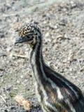 Emu (Dromaius novaehollandiae) chick Stock Image