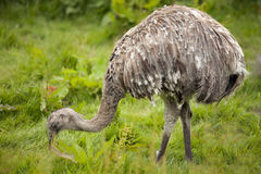 Emu.  Dromaius novaehollandiae. Emu  Dromaius novaehollandiae grazing in field Royalty Free Stock Images