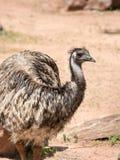 Emu (Dromaius novaehollandiae) jest wielkim ptasim miejscowym Aus Obrazy Royalty Free