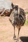 Emu (Dromaius novaehollandiae) jest wielkim ptasim miejscowym Aus Obraz Royalty Free