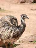 Emu (Dromaius novaehollandiae) is the largest bird native to Aus Royalty Free Stock Images
