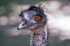 Emu - Dromaius novaehollandiae Stock Images