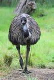 Emu (Dromaius novaehollandiae) Stock Images