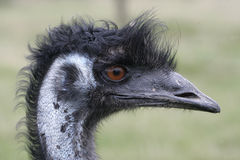 Emu, Dromaius novaehollandiae Royalty Free Stock Photos