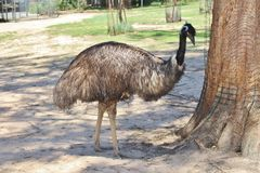 Emu. & x28;Dromaius novaehollandiae& x29; is the only species of birds that remains in the family . It is akin to ostrich birds but is placed in the order of Stock Images