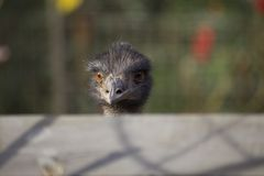 Emu (Dromaius novaehollandiae Stock Image