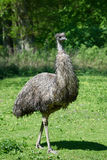 Emu (Dromaius novaehollandiae) Stock Photography