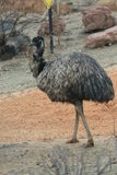 Emu - Dromaius novaehollandiae Royalty Free Stock Photos