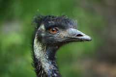 Emu (Dromaius novaehollandiae) Royalty Free Stock Images