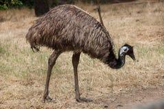 Emu Dromaius novaehollandiae. Stock Photo