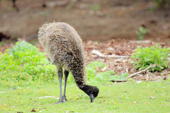 Emu (Dromaius novaehollandiae) Royalty Free Stock Image