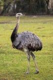 Emu Dromaiusnovaehollandiae som st?r i gr?s i dess livsmilj? arkivfoton