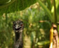 Emu Royalty Free Stock Photo