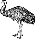 Emu (Dromiceiidae) Images stock