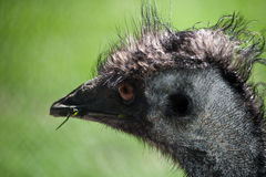 Emu eating grass. Closeup of a emu eating grass Royalty Free Stock Photo