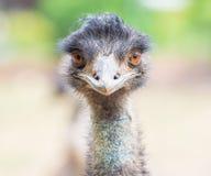Emu eller struts som ser raka med två orange ögon Royaltyfria Bilder