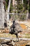Emu. Is a very large animal dismembered wings but can not fly commonly found in Australia and Africa Royalty Free Stock Photos