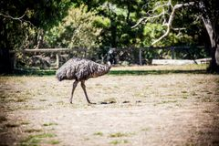 Emu. Is a very large animal dismembered wings but can not fly commonly found in Australia and Africa Royalty Free Stock Photography