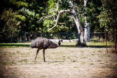 Emu. Is a very large animal dismembered wings but can not fly commonly found in Australia and Africa Royalty Free Stock Images